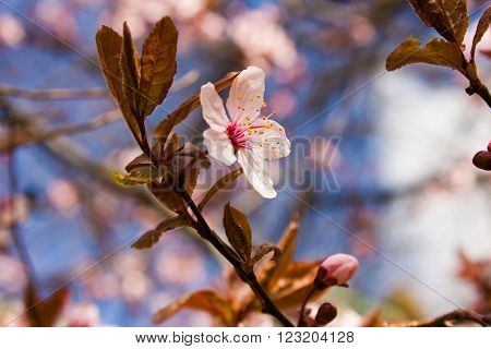 Close-up of pink flower blossoms on cherry in spring in vintage colors toning. A branch of a blossoming tree.