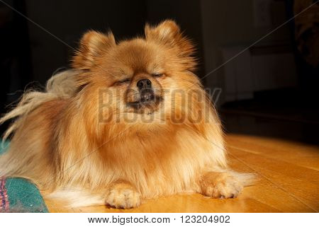 A small dog seems to be meditating while lying in the spotlight.