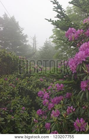 Mist shrouds flowering rhododendrum shrubs on mountain