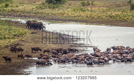 Specie Syncerus caffer and Loxodonta africana, herd of african buffalos in the riverbank, South Africa