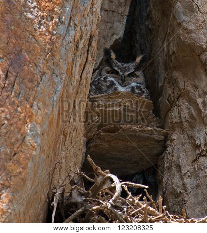 Californian Great Horned Owl in a rock cliff face nest in Lake Isabella California USA in the southern Sierra Nevada Mountains in Central California