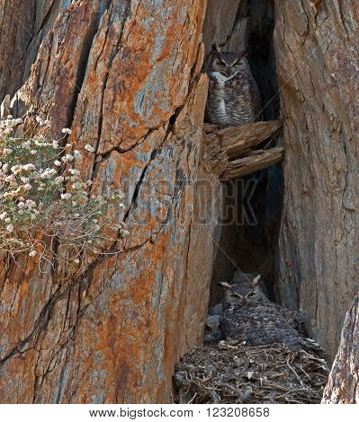 Californian Great Horned Owls in a rock cliff face nest with their chicks in Lake Isabella California USA in the southern Sierra Nevada Mountains in Central California
