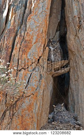 Californian Great Horned Owls in nest with chicks in Lake Isabella California USA in the southern Sierra Nevada Mountains in Central California