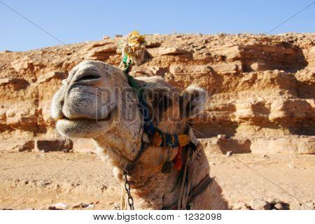 Smiling Camel, Egypt