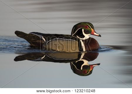 A drake Wood Duck in the spring in Minnesota** Note: Visible grain at 100%, best at smaller sizes
