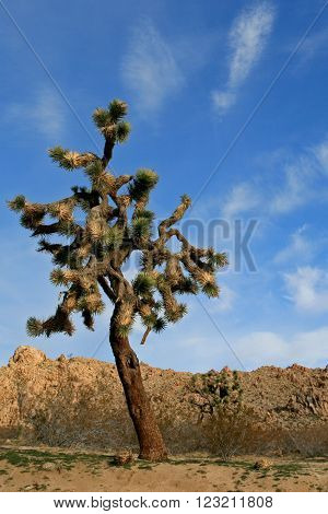 Joshua Tree in the high desert of southern California USA between Palmdale, Lancaster, and Lake Los Angeles