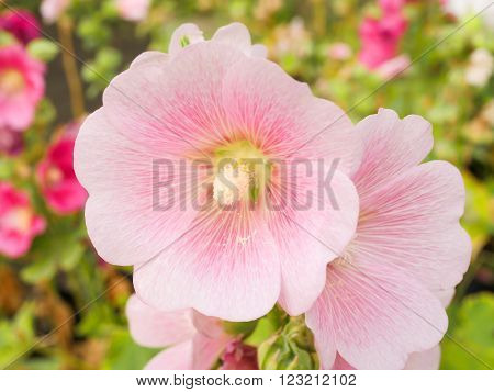 Close up Pink Hollyhocks flower in the garden with blur background ** Note: Shallow depth of field