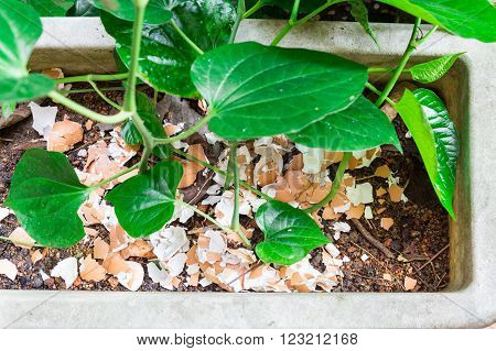 Crushed egg shell recycled as natural organic garden fertilizer on plants at home