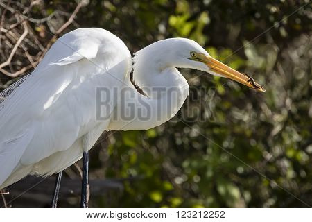 Great Egret Eating An Anole - Florida