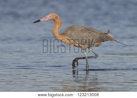 Reddish Egret Foraging In A Shallow Tidal Lagoon - Florida