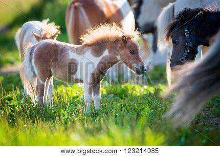 Herd of small cute horses in pasture