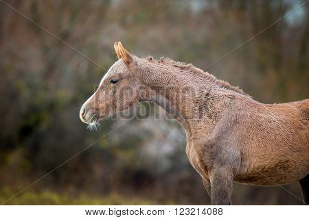 Foal of Arabian horse in autumn