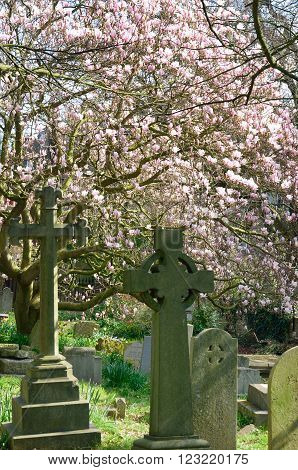 Gravestones with Pink Cherry Blossom on tree