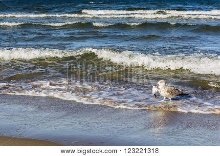 Fish in its beak seagull sea (Baltic).