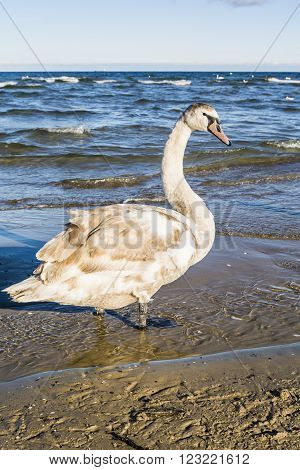 Profile Mute Swan (Cygnus, olor) on sea background.