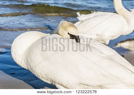 Mute Swan Put The Beak In Feathers.