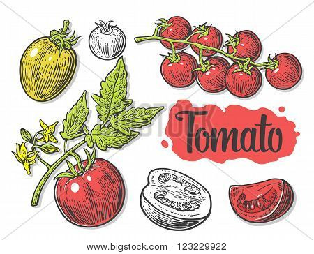 Tomato half and slice isolated engraved illustration. Set hand drawn tomatoes isolated on white background.