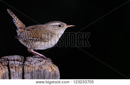 Winter Wren On Black Background