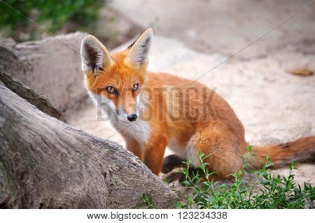 Red Fox Cub in good summer day