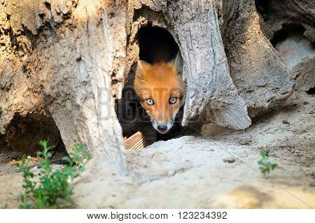 Young Red Fox Hiding In Tree Stump Den
