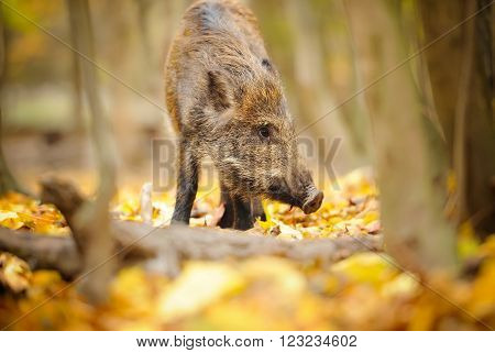 Small wild boar is in the autumn forest