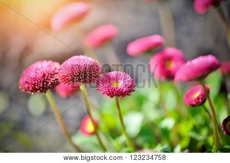 Beautiful pink marguerite flowers outdoors. Spring season