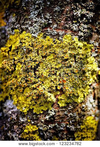 Lichen (Xanthoria) macro grows on the bark