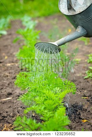 Watering Of Vegetable Bed With Rows Of Carrots