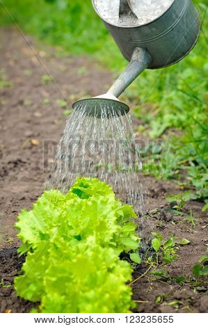 Watering Of Vegetable Bed With Rows Of Lettuce