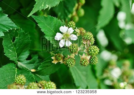 White Flower And Unripe Fruits On A Blackberry Branch