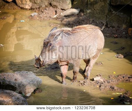 Warthog came to drink. Looking at the camera