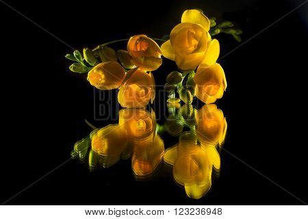 Freesia  , spring flower isolated on black  background