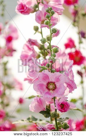 Pink hollyhock flower in the garden. Soft focus.