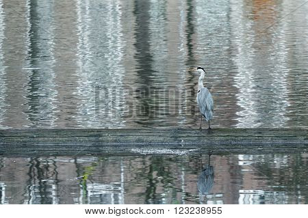 Profile of grey heron is standing in rippling water and hunting