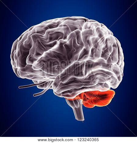 The human brain is the main organ of the human central nervous system.