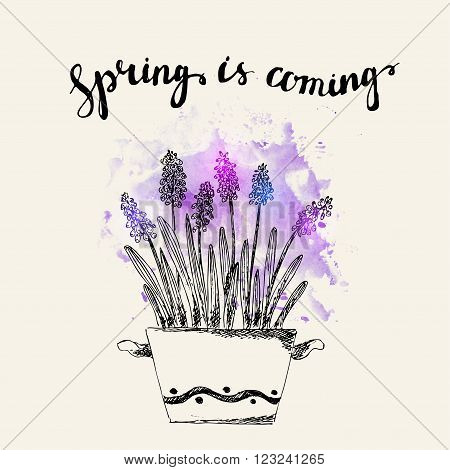 Hand drawn line art pot grape hyacinth flowers. Spring is coming lettering on purple watercolor splash. Spring hyacinth ink drawing for easter decor garden backgrounds floral design.