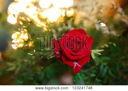 Rosebud in the green foliage on the lights background