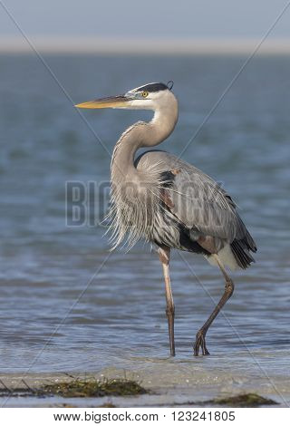 Great Blue Heron Standing On A Florida Beach