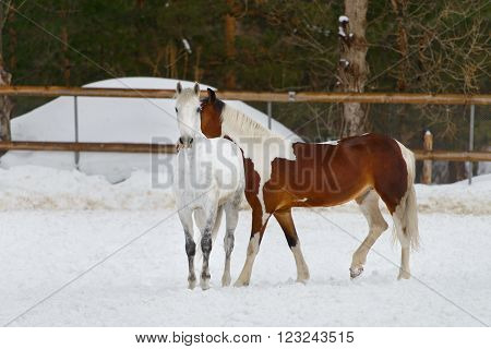 domestic horses walking in the paddock in cold weather in winter