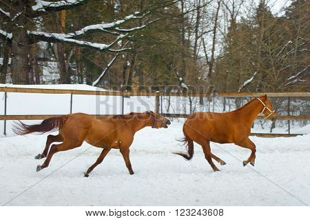 Horses Running In The Paddock In Winter