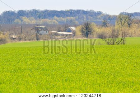 panorama of green field of winter wheat at background of small houses in early spring