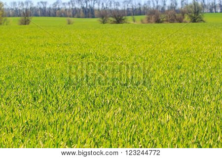 panorama of green field of winter wheat at background of leafless trees in early spring