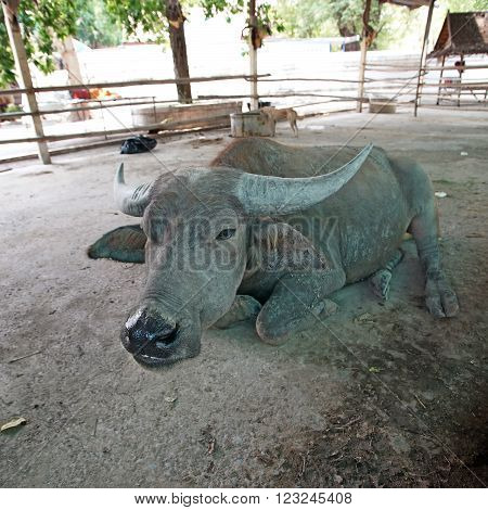 asian water buffalo or bubalus bubalis in paddock
