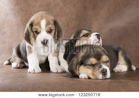 three puppy beagle on a brown background