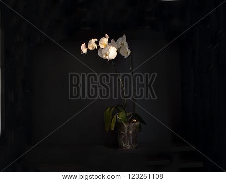 White orchid flowers in pot against dark wall.