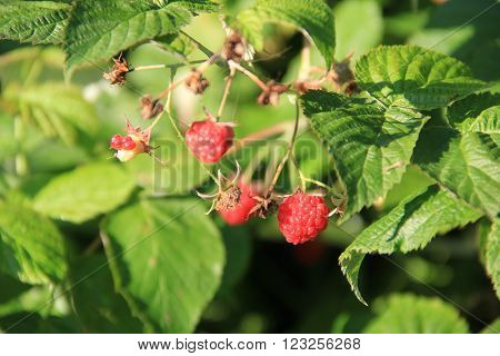 Ripe raspberry hanging on a bush among green leaves