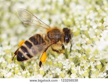 close up of a small bee (Apis mellifera) on flowers of elder collecting honey