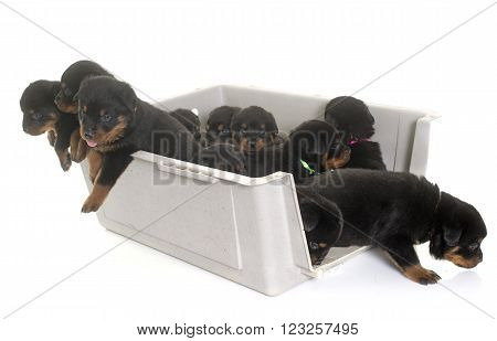 young puppies rottweiler in kennel in front of white background ** Note: Soft Focus at 100%, best at smaller sizes