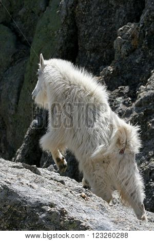 Mountain Goat charging up Harney Peak in Custer State Park in the Black Hills of South Dakota USA