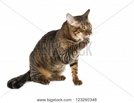 Toyger breed koshekna white background in studio